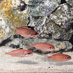 Caribbean Reef Squirrelfish (4-Lot) (click for more detail)