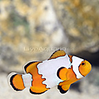 ORA® Captive-Bred Snowflake Clownfish (Single) (click for more detail)