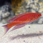 Royal Flasher Wrasse Terminal Phase Male (click for more detail)
