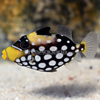 Clown Triggerfish Juvenile (click for more detail)