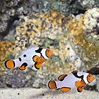 Bali Aquarich Captive-Bred Black Picasso P1 Percula Clownfish (Bonded Pair) (click for more detail)
