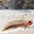 Variable Jawfish (click for more detail)