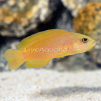 Yellow Dottyback (click for more detail)