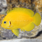 Cocopeel Angelfish (click for more detail)