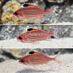 Caribbean Reef Squirrelfish (Trio) (click for more detail)