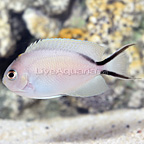 Zebra Lyretail Angelfish Female (click for more detail)