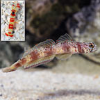 Wide-Barred Shrimp Goby with Red Banded Pistol Shrimp (click for more detail)