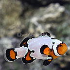 ORA® Captive-Bred Black Ice Snowflake Ocellaris Clownfish (click for more detail)