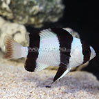 Tuxedo Damselfish (click for more detail)