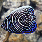 African Emperor Angelfish Juvenile (click for more detail)