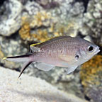Yellow Edge Chromis  (click for more detail)