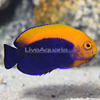 Fireball Angelfish (click for more detail)