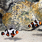 ORA® Captive-Bred Gladiator Clownfish (Select Pair) (click for more detail)