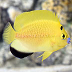 Bali Aquarich Captive-Bred Flagfin Goldflake Hybrid Angelfish (click for more detail)