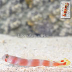 Pink Bar Goby with Red Banded Pistol Shrimp (click for more detail)