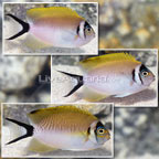 Masked Swallowtail Angelfish (Trio) (click for more detail)