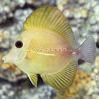 Yellow Scopas Tang (click for more detail)