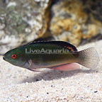 Blackfin Fairy Wrasse Terminal Phase Male (click for more detail)