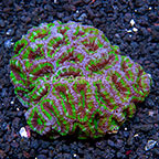 Aussie Lord Coral  (click for more detail)