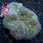 Aussie Symphyllia Brain Coral  (click for more detail)