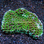 Aussie Favites Brain Coral (click for more detail)
