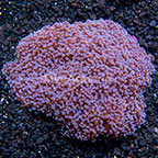 Frogspawn Coral Indonesia (click for more detail)