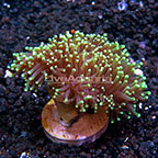Aussie Torch Coral  (click for more detail)