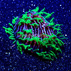 DFS Neon Green Tentacle Purple Herpolitha Tongue Coral (click for more detail)