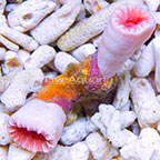 Aussie Double Balanophyllia Coral (click for more detail)