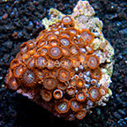 Bam Bam Orange and Orange Delight Colony Polyp Rock Zoanthus Tonga IM (click for more detail)