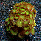 Green Tea Cup Colony Polyp Rock Protopalythoa Indonesia IM (click for more detail)