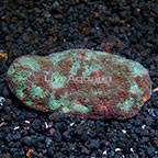 Acan Brain Coral Indonesia (click for more detail)