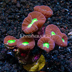 Aussie Trumpet Coral  (click for more detail)