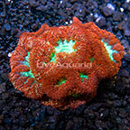 Aussie Blastomussa Coral  (click for more detail)
