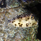 Shortnose Trunkfish EXPERT ONLY (click for more detail)