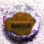 DFS Rainbow Orange Leptastrea Coral (click for more detail)