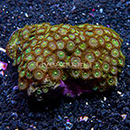 Dreamweaver Colony Polyp Rock Zoanthus Indonesia IM (click for more detail)
