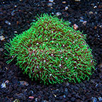 Starburst Polyp Rock Indonesia (click for more detail)