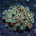 Aussie Alveopora Coral  (click for more detail)