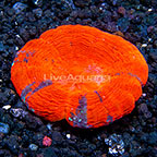 Aussie Scolymia Coral (click for more detail)