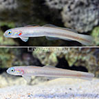 Green Silk Gudgeon Goby (Bonded Pair) (click for more detail)
