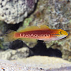 Bella Goby  (click for more detail)