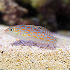 Timor Orange Dashed Wrasse  (click for more detail)