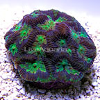 DFS Kaleidoscope Brain Coral (click for more detail)