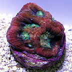 DFS Tricolor Goniastrea Brain Coral (click for more detail)