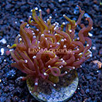 Gold Torch Coral Indonesia (click for more detail)
