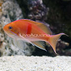 Red Belted Anthias Transitioning (click for more detail)