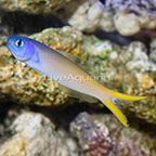 Blue Jaw Tilefish  (click for more detail)