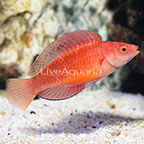 Red Fin Fairy Wrasse Terminal Phase Male (click for more detail)