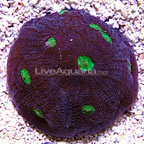 DFS Alien Eye Mycedium Coral (click for more detail)